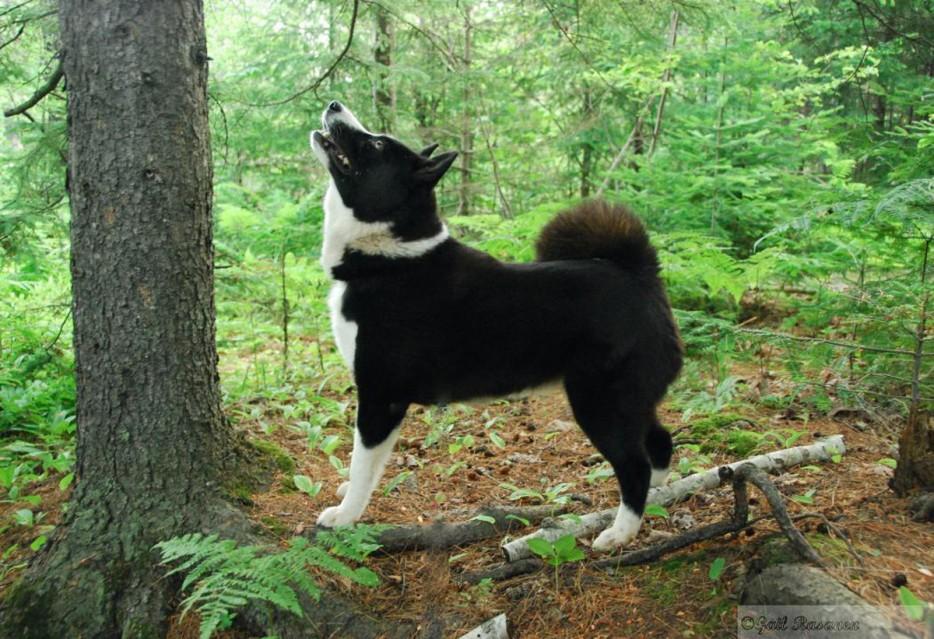 bjørnehund2