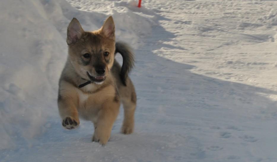 vallhund1