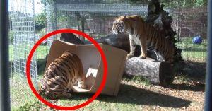 Det er ikke bare huskatter som liker pappesker - løver, tigere og leoparder digger det også!